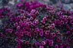 Purple saxifrage flowers mat