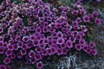 Purple saxifrage - an early bloomers