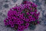 Purple saxifrage - an Arctic flowering plant