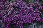 Purple saxifrage - a cold-resistant flowering plant