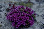 Purple saxifrage despite arctic cold