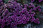 Purple saxifrage - Flower of the Arctic