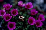 Purple saxifrage - an Arctic eye-catcher