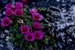 """Flower of the territory of Nunavut"""", the Purple saxifrage"""