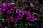Purple saxifrage - flowering plant of the Arctic