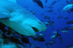 Dangerous-looking Bull shark