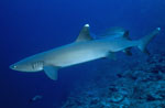 Whitetip reef shark swims along the reef