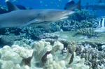 Whitetip reef shark (Triaenodon obesus)