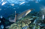 Whitetip reef sharks and diver