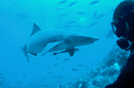 Whitetip reef shark and diver