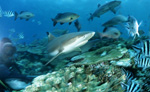 Blacktip reef shark, reef fish and diver