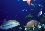 Bluefin Treavally, Twinspot Snapper, Yellow and Blueback Fusiliers