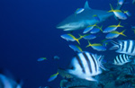 Gray reef shark, Fusiliers and Scissortail Sergeants