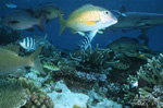 Twinspot Snapper and Whitetip reef shark