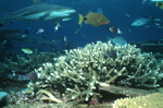 Blacktip reef shark with Orangelined Trigeggerfish