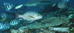 Twinspot Snapper and Blacktip-reef shark