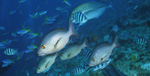 Twinspot Snapper, Yellowback fusiliers, Bluefin trevally and Sergeants