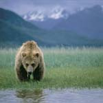 Grazing Brown Bear (Ursus arctos horribilis)