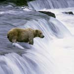 Brown bear in the flowing water at the waterfall