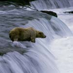 Patient brown bear at the waterfall