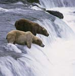 Two brown bears at waterfall