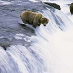 Brown bear is waiting for a jumping salmon