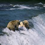 Brown bears are fighting at the waterfall