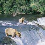 Brown bears fishing for salmon at the Brooks River Falls