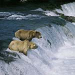 Brown bears see a jumping salmon