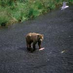 Kodiak Bear fishing for salmon