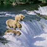 Three brown bears on Brooks River Falls