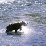 Kodiak bear has caught a salmon