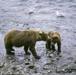 Mother Kodiakbear with young bear in the o' Malley River