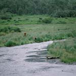 Mother Kodiak bear with bear cubs at the o' Malley River