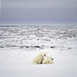 The young Polar bear exploreres the coast with its mother