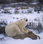 The tired Polar bear on a rock at the Hudson Bay