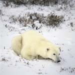 A Polar bear relaxes in the late afternoon light