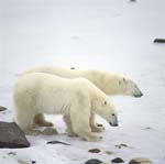 Young Polar Bear with his mother at the Hudson Bay