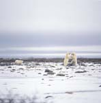 Fighting Polar Bears playing on the Hudson Bay