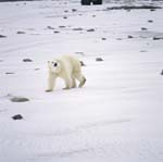 The Polar Bear curiously prowls along the Hudson Bay coast