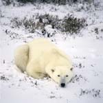 Resting Polar Bear in the freshly fallen snow