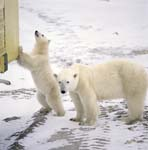 The little Polar Bear curiously examines a tundra Buggy