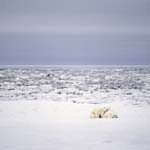 A Young Polar Bear and his mother rest at the Hudson Bay
