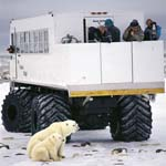 Polar Bear family, Tundra-Buggy and tourists
