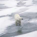 Polar Bear on its way at the Hudson Bay coast