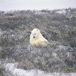 Polar Bear in the coast tundra in late autumn
