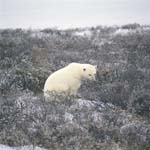 Polar Bear in the tundra landscape in late autumn.