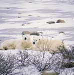 Resting Polar Bears at the Hudson Bay coast