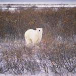 Polar Bear in the autumnal tundra at the Hudson Bay