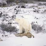 Polar Bear rests on a lichen-covered rock